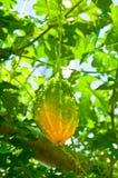 Läcker ny bitter melon i trädgård Royaltyfria Foton