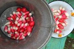 Läcker saftig röd och vit rädisa i en järnhink och handfat Royaltyfri Foto