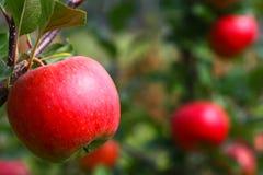 läckert äpple Royaltyfri Bild