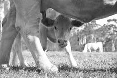 Läckert mjölka Arkivbilder