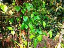 Läckert paan blad på trädet i sunt växa royaltyfri fotografi