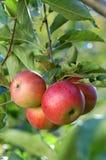läckra äpplen arkivfoton