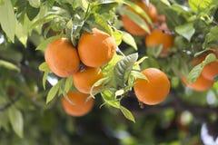 Läckra apelsiner på träd Royaltyfria Foton