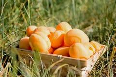 Läckra aprikors i en korg, på gräsmattan royaltyfria bilder