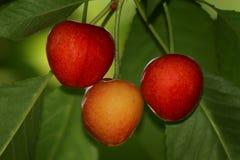 Läckra Cherry Arkivfoton
