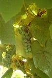 Läckra gröna druvor Arkivfoton