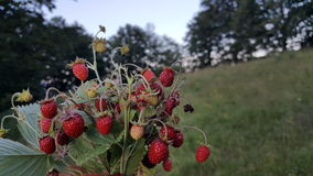 Läckra jordgubbar i naturen Arkivfoto