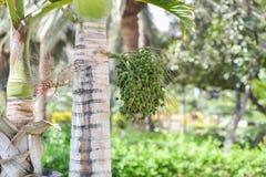 Läckra nya data som växer på en palmträd i Gran Canaria, Spanien Arkivfoto