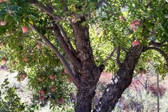 Läckra organiska äpplen för klassisk gammal släktklenod för äppleträd naturlig organisk mogen röd på filialer i ett träd i nedgån Arkivbild