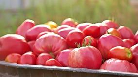 läckra röda tomater En stapel av tomater Åkerbruk lantgård för sommarmagasinmarknad mycket av organiska tomater nya tomater arkivfilmer