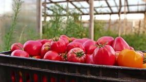 läckra röda tomater En stapel av tomater Åkerbruk lantgård för sommarmagasinmarknad mycket av organiska tomater nya tomater stock video