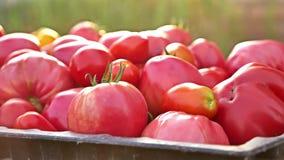 läckra röda tomater En stapel av tomater Åkerbruk lantgård för sommarmagasinmarknad mycket av organiska tomater nya tomater lager videofilmer