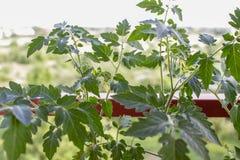 läckra röda tomater Härliga röda mogna släktklenodtomater som är fullvuxna i ett växthus Royaltyfria Foton