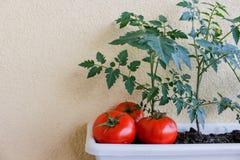läckra röda tomater Härliga röda mogna släktklenodtomater som är fullvuxna i ett växthus Royaltyfria Bilder