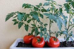 läckra röda tomater Härliga röda mogna släktklenodtomater som är fullvuxna i ett växthus Royaltyfri Foto