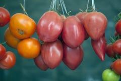 Läckra tomater. Arkivbild