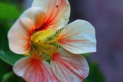 Läckt persika Royaltyfri Fotografi