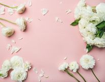Lägenhet-lekmanna- av den vita ranunculusen blommar ljust - rosa bakgrund Fotografering för Bildbyråer