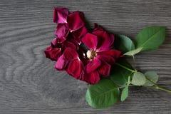 Lägenheten lägger av en vissen ros som lossar kronblad i ett träb royaltyfria foton