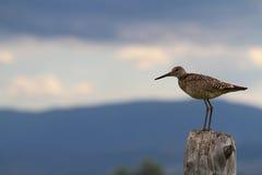 Lägga benen på ryggen Long fågeln Royaltyfria Foton