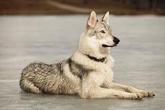 Lägga den gulliga unga wofdogmannen på frostfloden Arkivfoton