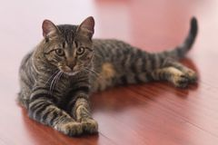 Lägga den siamese katten royaltyfri foto