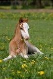 Lägga fölet för welsh ponny Royaltyfria Foton