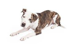Lägga för amerikanska Staffordshire Terrier korshund Arkivbilder