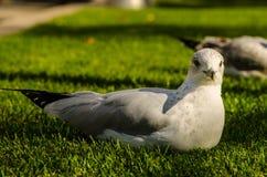 Lägga för Seagull av gräset Arkivfoto