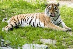Lägga för tiger Arkivfoto