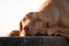 Lägga ner den ungerska vizslahunden på trästol i vår Arkivbild
