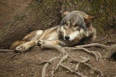 läggande av wolfen Royaltyfri Bild