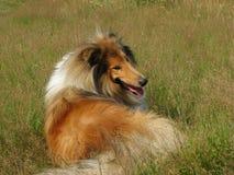 läggande för colliehundgräs Royaltyfri Bild
