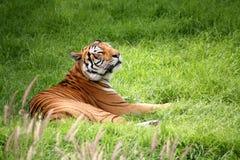 läggande ner av tigern Royaltyfria Bilder