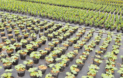 lägger in plantan Royaltyfria Bilder