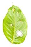 läka leafen Fotografering för Bildbyråer