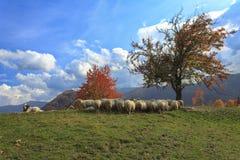 Lämmer im Herbst in den Bergen Lizenzfreie Stockfotografie