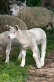 Lämmer und Schafe zusammen Stockbilder