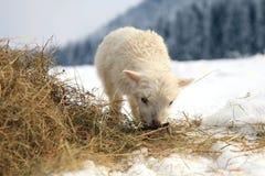 Lämmer. Winter auf dem Bauernhof. Stockfotografie