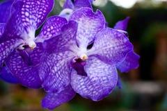 Lämnad purpurfärgad orkidé royaltyfria foton