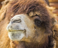Lämnad röd kamel Fotografering för Bildbyråer