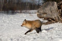 Lämnade Amber Phase Red Fox Vulpes vulpesvänd Royaltyfri Bild