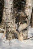 Lämnade Grey Wolf Canis lupusjämliken Royaltyfria Bilder