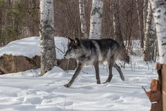 Lämnade svarta trav för fasGrey Wolf Canis lupus Arkivbilder