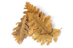 Lämnar av oak Arkivbild