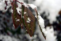 Lämnar i snowen Arkivfoto