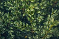 Lämnar lös bärtranbärbakgrund gröna prydnadar för jul Naturlig höstvinterbakgrund arkivfoto