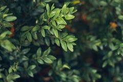 Lämnar lös bärtranbärbakgrund gröna prydnadar för jul Naturlig höstvinterbakgrund arkivbilder
