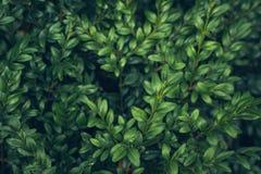 Lämnar lös bärtranbärbakgrund gröna prydnadar för jul Naturlig höstvinterbakgrund arkivbild