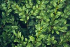 Lämnar lös bärtranbärbakgrund gröna prydnadar för jul Naturlig höstvinterbakgrund royaltyfria bilder